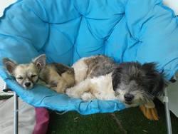 Winny, chien Caniche