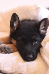 Winry, chien Berger allemand