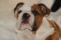 Winston, chien Bulldog