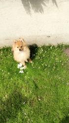 Winter, chien Spitz allemand