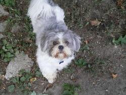 Wippet, chien Shih Tzu
