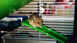 Wisko, rongeur Hamster