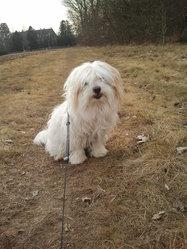 Wisky, chien Coton de Tuléar