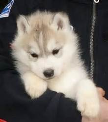 Wisky, chien Husky sibérien