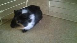 Wisky, rongeur Cochon d'Inde