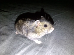 Wisper, rongeur Hamster