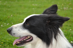 Wiston, chien Border Collie