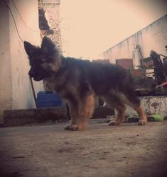 Wolf, chien Berger allemand