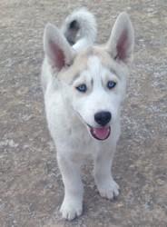 Youri, chiot Husky sibérien