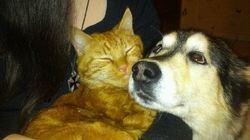 Wolf, chien Husky sibérien