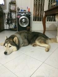 Wolf, chien Malamute de l'Alaska
