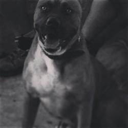 Wolf, chien Boxer