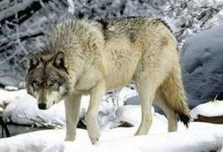 Wolf, autres
