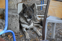 Wolf, chien Chien-loup tchèque