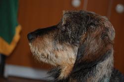 Wolf, chien Teckel