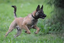 Wolf, chien Berger belge