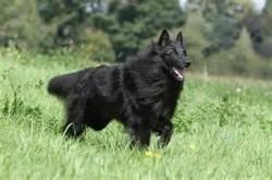 Wolfen, chien