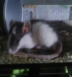 Wolfgang, rongeur Rat