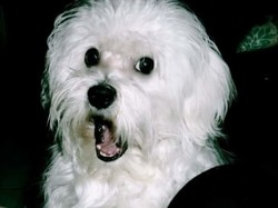 Wolfi, chien Bichon maltais