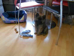 Wolverine, chien Eurasier