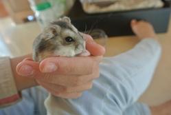Wonder, rongeur Hamster