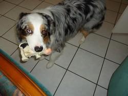Wonder, chien Berger australien