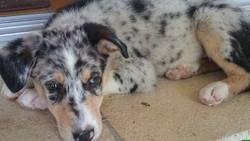 Woodie, chien Berger australien