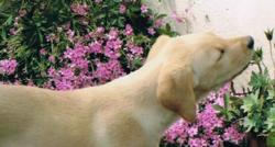 Woodie, chien Labrador Retriever