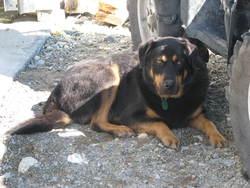 Woody, chien Rottweiler