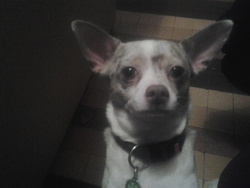Woody, chien Chihuahua