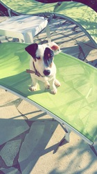 Woody, chien Jack Russell Terrier