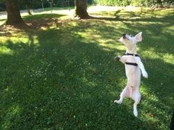 Woody, chien Jack Russell Terrier