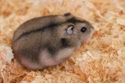 Woudide, rongeur Hamster