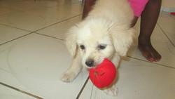 Wyllo, chien Bichon havanais