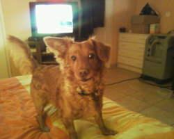 Wyllow, chien