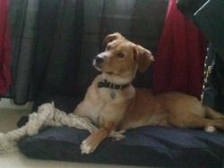 Wytha, chien Labrador Retriever