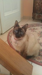 Xana, chat Siamois
