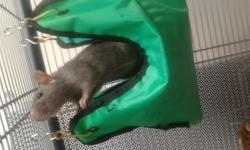Xena, rongeur Rat