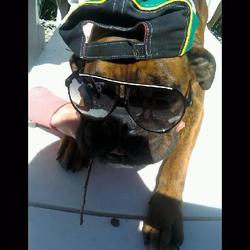 Xéna, chien Boxer