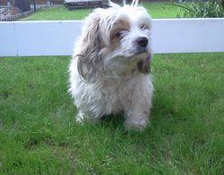 Xéna, chien Bichon maltais