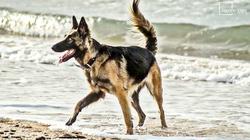 Xéna, chien Berger allemand
