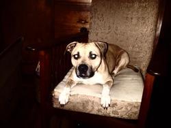 Xena, chien American Staffordshire Terrier