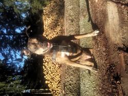 Xéna, chien American Staffordshire Terrier