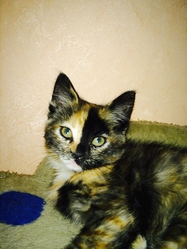 Xena, chat Européen