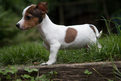 Xeno, chien Jack Russell Terrier