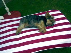 Xenon, chien Yorkshire Terrier