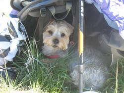 Xenos, chien Yorkshire Terrier