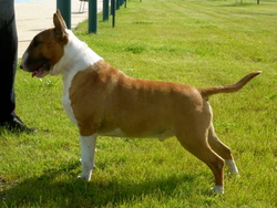 Ch Geico Du Moulin D' Allamont, chien Bull Terrier