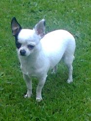 Xia-Mi, chien Chihuahua