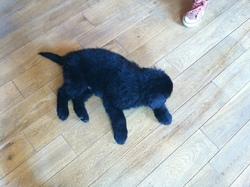 Xingu, chien Terre-Neuve